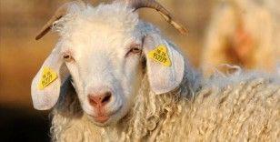 Ankara keçisi sayısı desteklerle artıyor