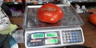 922 Gram ağırlığındaki domatesler büyük ilgi görüyor