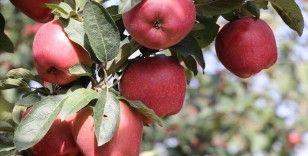 Isparta elması dalında satılması ve verimiyle yüz güldürüyor