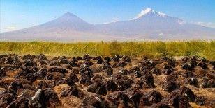 Morkaraman ve akkaraman ırkı koyun ve koçlar Azerbaycan'a ihraç ediliyor