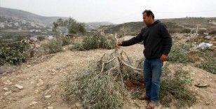 Yahudi yerleşimcilerin Filistinlilere ait zeytin ağaçlarına ve arazilere saldırıları arttı