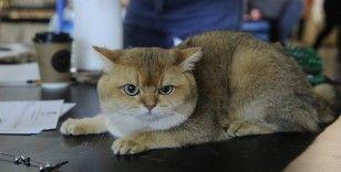 Farklı ırktan kediler görücüye çıktı