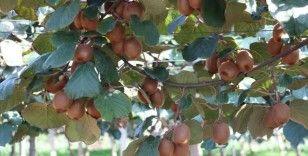 Dalından satılan kivinin üreticileri hasada hazırlanıyor