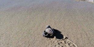 Marmara'da yumurtadan çıkan yavruların bulunduğu 'caretta caretta yuvası' tespit edildi