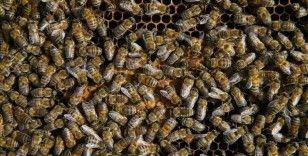'Efe arısı' ve 'Gökçeada arısı' tescil edildi