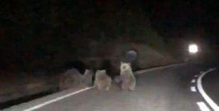 Tunceli'de 4 boz ayı karayoluna indi