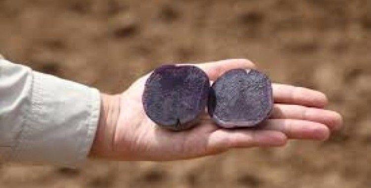 Yerli ve mor, ilk hasadı Sivas'ta gerçekleşti