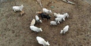 Klon sığır ailesi sürü oldu: Yeni dünyaya gelen yavru ilgi odağı