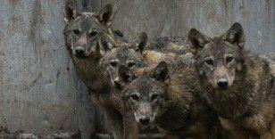 Mehmetçiğin dağda bulduğu kurt yavrularının Kars'taki tedavisi sürüyor