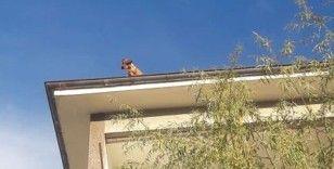 Apartman çatısındaki köpeği görenler şaşkına döndü