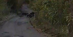 Aç kalan domuz sürüleri köylere inmeye başladı