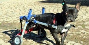 Bacakları felç olan köpek yürüteçle hayata tutundu