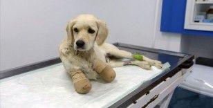 Samsun'da patileri kesilen köpekle ilgili 3 kişi gözaltına alındı