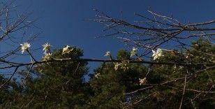 Kastamonu'da meyve ağaçları kış ayında çiçek açtı