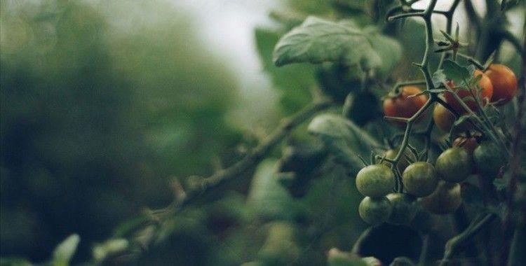 ABD, 'zorla çalıştırmayla üretildiği' gerekçesiyle Sincan'dan pamuk ve domates alımını durduruyor