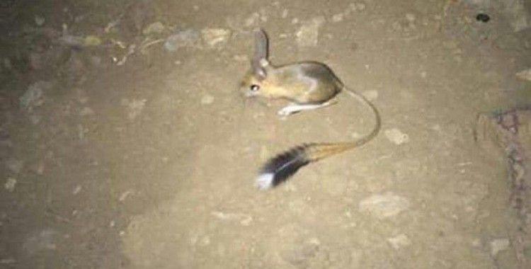 Şırnak'ta IUCN'nin 'kırmızı' listesinde bulunan Arap tavşanı görüntülendi
