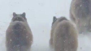 Kış uykusundan uyanan ayı ve yavruları şaşırttı