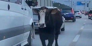 Bursa trafiğinde dana şoku...