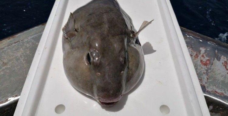 Bu balığın kuyruğu balıkçılara binler kazandırdı