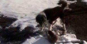 Köpeklerin parçalamaya çalıştığı su samuru son anda kurtuldu