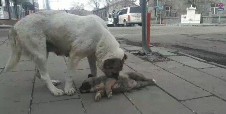Kars'ta ölen yavrusunun başında bekleyen köpek yürekleri dağladı