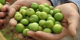 Yeşil eriğin kilosu çeyrek altını geride bıraktı: Kilosu 750 lira