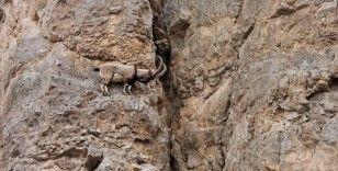 Kayaların usta tırmanıcıları