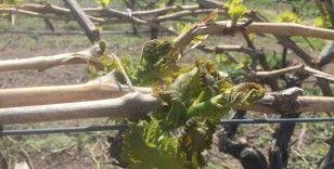 Manisa'da üzüm bağlarını önce kar sonra don vurdu