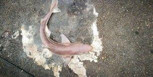 İzmit Körfezi'nde balıkçı oltasına camgöz köpekbalığı takıldı