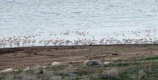 Yüzlerce flamingonun görsel şöleni havadan görüntülendi