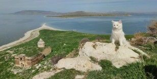 Astronot Rubins'e hediye edilecek Van kedisi Çarpanak Adası'nda podyuma çıktı