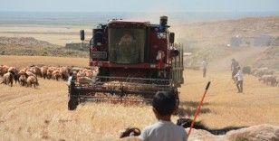 Mardin'de kuraklık nedeniyle mercimek hasadına erken başlandı