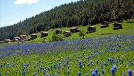 Baharın tüm güzelliklerini sergileyen Kastamonu yaylaları ziyaretçilerini bekliyor