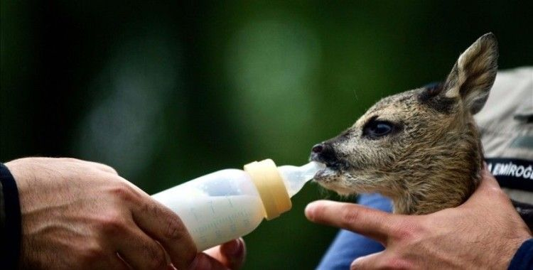 Bolu'da bulunan yavru karaca 'Sevimli' emin ellerde