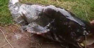 İzmir'de 55 kiloluk dev yayın balığı yakalandı