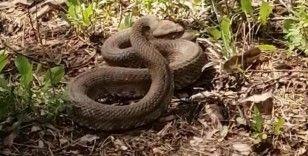 Engerek yılanlarının dansı
