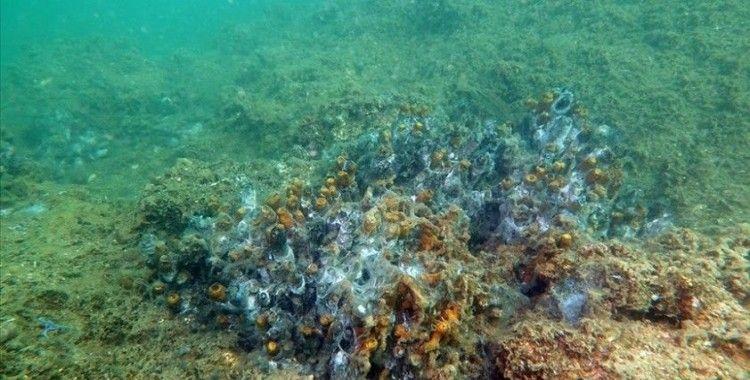 Marmara Denizi'nde müsilaj nedeniyle sünger ve mercanlar büyük zarar gördü