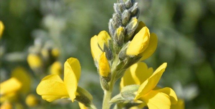Nesli tehlike altında olan endemik bitki 'Eber sarısı'nın yetiştiği yeni bir alan keşfedildi