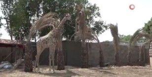 Karaçi'de yerleşim bölgesinde ilk kez zürafa görüldü