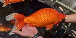 ABD'de göle bırakılan Japon balıkları aşırı büyüdü