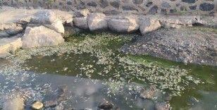 Bingöl'de kuraklık balıkları da vurdu, yüzlercesi telef oldu