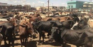 Keşmir'de Kurban Bayramı'nda 'inek, buzağı ve deve' kesilmesi yasaklandı