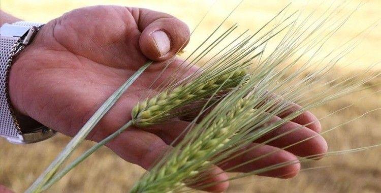 Kuraklığa dayanıklı arpa sağladığı verimle çiftçiyi sevindirdi