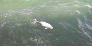 Tarabya'da içler acıtan görüntü: Ölü yavru yunus kıyıya vurdu
