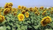 Devlet desteğiyle üretimi 5 kat artan 'sarı gelin' çiftçiye kazanç Ağrı'ya güzellik getirdi