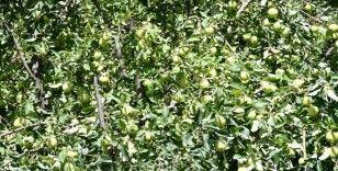 Kuraklığın uğramadığı köyde tonlarca elma yetişti