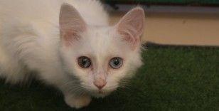 Van kedisi uysal bir hayvandır