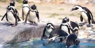 Güney Afrika'da nesli tükenme tehlikesindeki 63 penguen arı saldırısında telef oldu