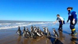 Arjantin'de iyileştirilen 14 penguen okyanusa bırakıldı