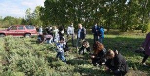 Kastamonu'da kara mürverin hasadı başladı